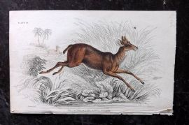 Jardine 1830's Hand Col Print. Chickara or Four Horned Antelope 31